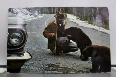 Wyoming WY Black Bear Yellowstone Park Postcard Old Vintage Card View Standard
