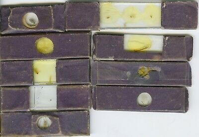 """9 1840s 2 1/2""""x3/4"""" Insect Microscope Slides with Purple Wraps"""