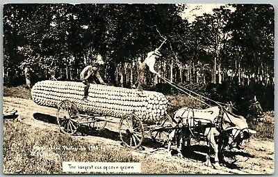 Exaggerated Corn 1912 Antique Real Photo Postcard Rppc