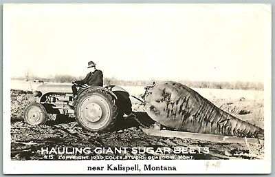 Kalispell Mt Exaggerated Sugar Beets 1941 Vintage Photo Postcard Rppc Tractor