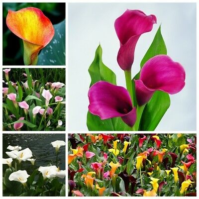 1 Pack 100 Calla Lily Seeds Rare Colorful For Home Garden Flower Seeds S070