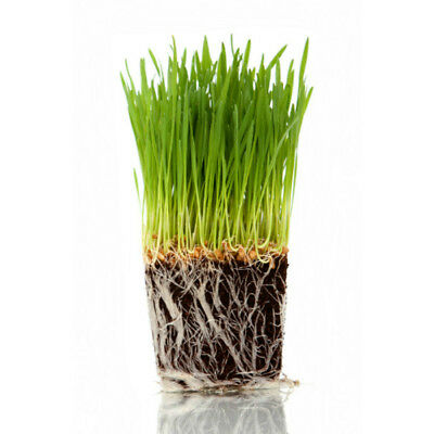 Cat Grass - 4 Pots of Fresh, Organic, Ready Grown Cat Grass by My Cat Grass