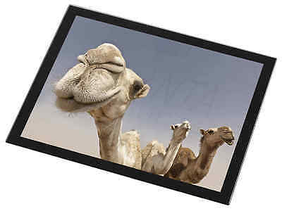 Camels Intrigued by Camera Black Rim Glass Placemat Animal Table Gift, CAM-1GP