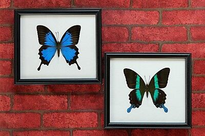 2 Real Big Papilio Blumei & Ulysses Butterfly Taxidermy Framed Insect