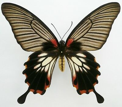 Papilio Memnon Agenor Female Tailed Form From Laos