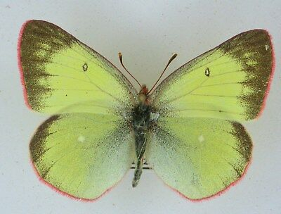 Colias palaeno, ssp euopome, rar female f, illgneri  light yellow