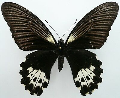PAPILIO FORBESI FEMALE FORM FROM MT. DEMPO, SUMATRA (repaired)