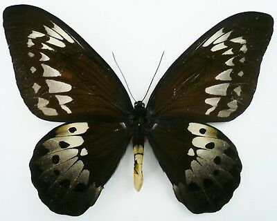 Ornithoptera Goliath Procus Female From Ceram Isl. (Large)