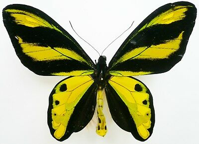 Ornithoptera Tithonus Ssp. Male From Sorong, Irian Jaya