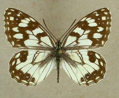 Melanargia ines ssp fathme, local Algeria, male