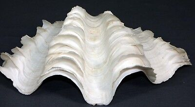 """Large Natural Tridacna  Clam Shell 11""""  Complete 2 Piece Shell"""