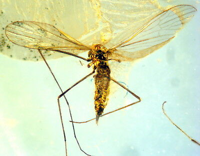 Fossil Insect In Baltic Amber 45-55 Millions Years Old(9685 )