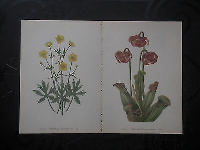 Set of 18 Vintage Mary Walcott Wildflower Prints - Buttercup Pitcher Plant
