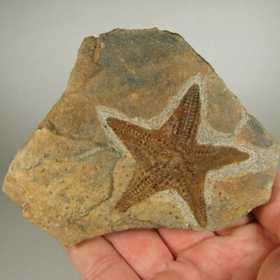 Authentic FOSSIL STARFISH Petraster sp. Ordovician - Ktaoua Formation, Morocco