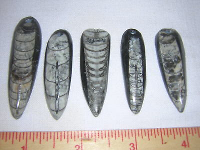 5 Fossil  Orthoceras Drilled For Pendants Nice!