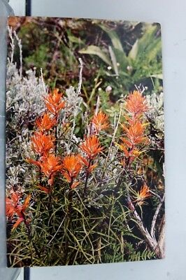 Wyoming WY Indian Paintbrush State Flower Postcard Old Vintage Card View Post PC