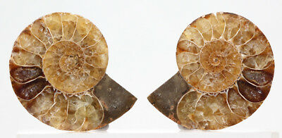 Agatized Sliced Ammonite Calcite Fossil Specimen Split Pair Madagascar Nautilus