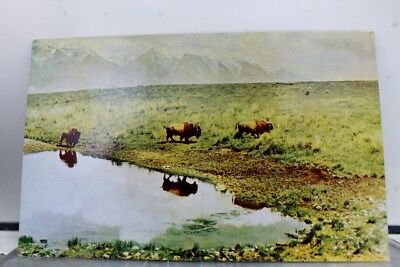 Wyoming WY Buffalo Cody Postcard Old Vintage Card View Standard Souvenir Postal