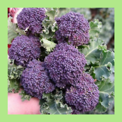 Heritage Seeds 150+ BROCCOLLI PURPLE SPROUTING