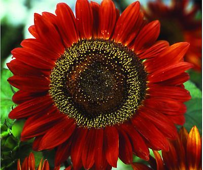 Flower - Kings Seed - Pictorial Packet - Sunflower - Red Sun - 25 Seed