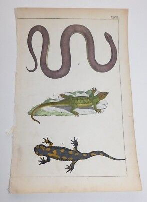 Antique Mid 1800's Zoological Book Hand Colored Reptile Animal Print