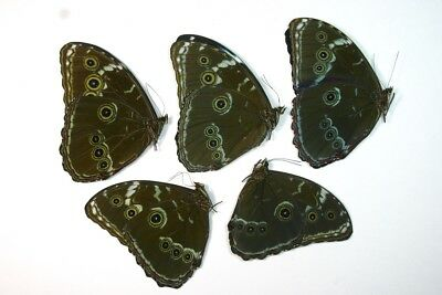 5 Morpho achilles in A1 condition