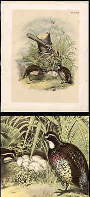 Partridge Plate From Studers Birds Of North America