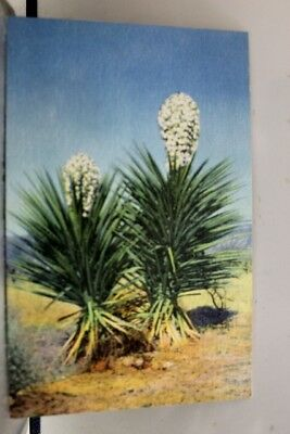 New Mexico NM Spanish Daggers Postcard Old Vintage Card View Standard Souvenir