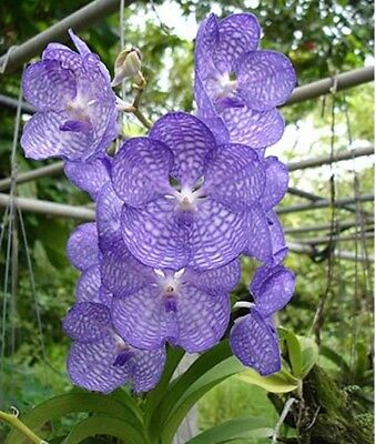 Vanda coerulea Orchidee  NATURFORM = MEGA - HIGHLIGHT + in BLÜTE = TOP