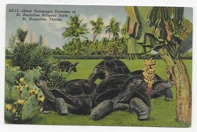ST. AUGUSTINE FLA Giant GALAPPAGOS TORTOISES Linen Unposted Post Card #1482