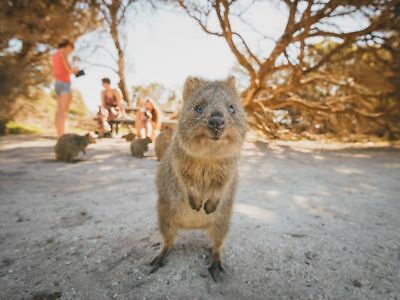 Digital Image Picture Art Photo Wallpaper JPG of Quokka kangaroo