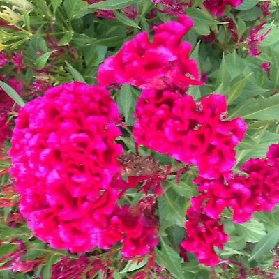 300 Plumed Celosia Crested Cockscomb Seeds for 2019 Beautiful Garden Flowers