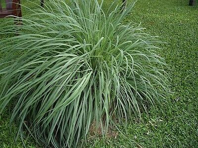Native Lemon Scented Grass Seed Bush Tucker Medicinal - (Cymbopogon ambiguus)