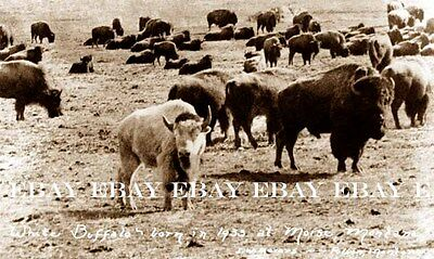 Sacred White Buffalo Revered By Native American Indians Bison Photo 1