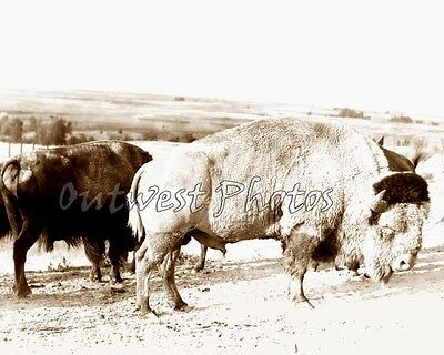 Sacred White Buffalo Revered By Native American Indians Photo 4