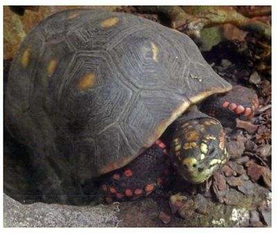 Postcard -  Animals - Red Footed Tortoise - Saw-shelled Turtle
