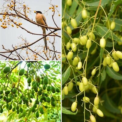 50Pcs Neem Tree Dried Seeds Azadirachta Indica Lilac Herb Plant Miracle India