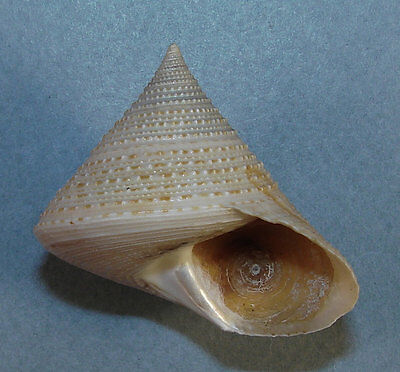 CALLIOSTOMA SELECTA 43.18mm BEAUTIFUL RARE XL SPECIMEN Wellington, New Zealand