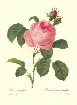 """6 Beautiful Redoute Vintage Rose Prints (10"""" x 13"""") Lot 6010 - Free Shipping"""