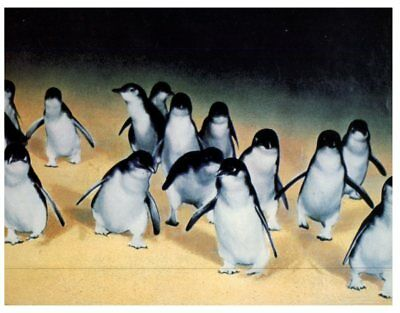 (DEL 7)  Postcard - Australia - VIC & TAS - Little or Blue Penguins