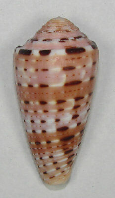 CONUS AURISIACUS 44.25mm SUPER CHOICE SPECIMEN Gorontalo, Molucca Sea, Indonesia