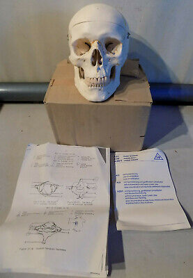 NEW 3B Scientific Germany Classic Human Skull 3-Parts A20