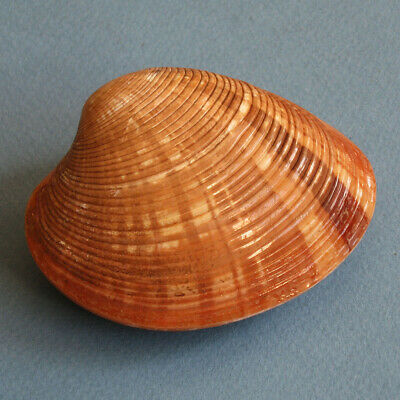 Shell Callista erycina 80mm F+++ Seashell Venus Clam