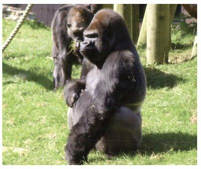 Postcard -  Animals - Lowland Gorilla