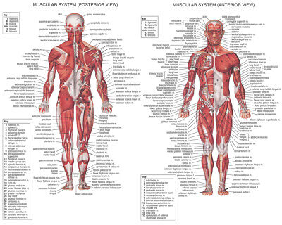 Human System - Body Anatomical Chart Muscular Skeletal Silk Poster 24x36 24x43
