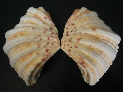 "The Famous...HIPPOPUS HIPPOPUS~100.7mm/4""~""Bear's Paw"" SEASHELL"