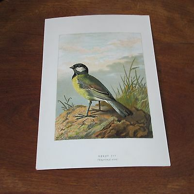 Antique Victorian Lithograph Print of the Great Tit Bird by A. Thorburn, 1880's