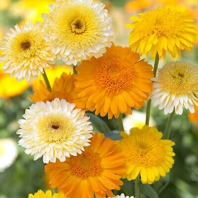 Kings Seeds - Calendula Kinglet Mixed - 100 Seeds