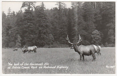ROOSEVELT ELK Prairie Redwood Highway CALIFORNIA RPPC RP Real Photo Postcard