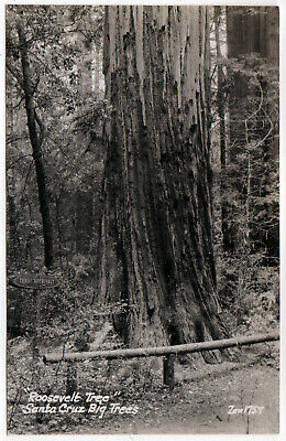 SANTA CRUZ BIG TREES RPPC RP Real Photo Postcard CALIFORNIA Roosevelt REDWOODS
